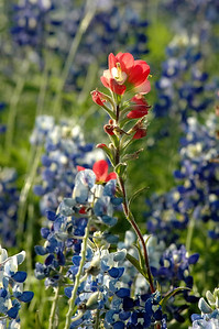 Indian Paintbrush with Bluebonnet Background
