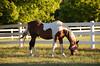 Race Horses  005