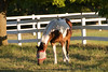 Race Horses  009