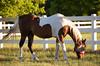 Race Horses  006