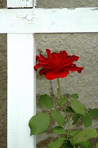Varner Hogg Rose
