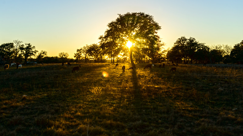 Sunset and Goats in Killeen Texas