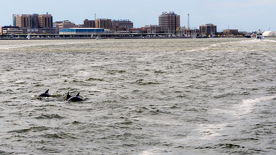 Dolphins in Galveston Bay with Galveston in the background