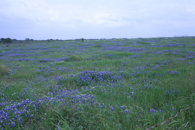 Blue Bonnet, the state flower of Texas
