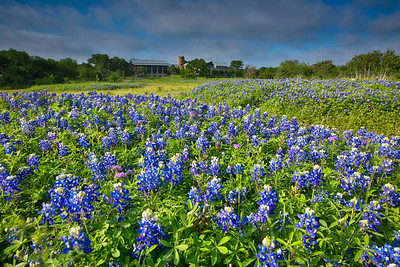 Bluebonnets at Ladybird Johnson Wildflower Center
