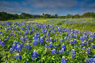 Bluebonnets at Ladybird Johnson Wildflower Center
