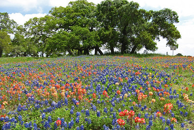 Texas Wildflowers - Washington County