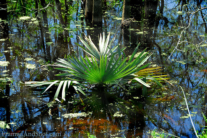 <strong><Center>Beauty in the Swamp</strong></center> Found this little jewel of light and color in Brazos Bend State Park.  It is a real swamp with lots of alligators, birds and insects. It is an hour drive from Houston and is our favorite places to shoot some wildlife, and one of the closest as well, since we live in a city with almost five million people.