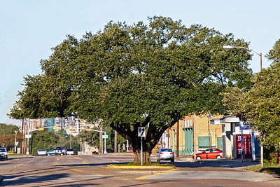 Big Oak Tree on Texas Ave. in Baytown, TX