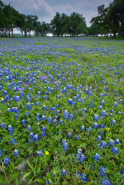 Bluebonnet field near Driftwood, Texas