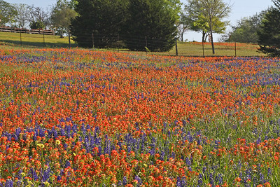 Indian Paintbrush & Bluebonnets - Texas Hill Country