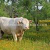 A white bull among flowers, near Fredericksburg, Texas