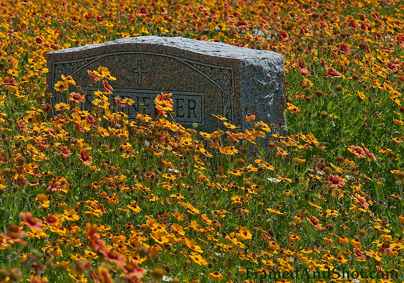 <strong><Center>Flower on every grave</strong></center> Oleander Cemetery, Galveston, Texas, has 2,080 graves, some of them are very old and long gone, but every grave has flowers. Lots of flowers!  It is amazing to watch how Mother Earth has taken over, the seeds are spread and cover the cemetery with orange, yellow and red flowers. In Oleander Cemetery everyone is remembered!!