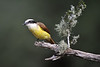 Great Kiskadee
