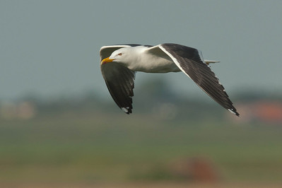 Great Black-backed Gull- Grote Mantelmeeuw