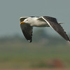 Great Black-backed Gull- Grote Mantelmeeuw