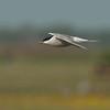 Common Tern - Visdief