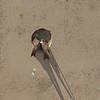 Sand Martin - Oeverzwaluw