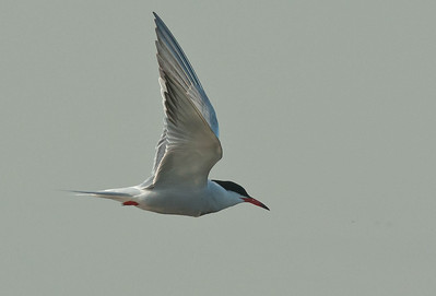 Common Tern - Visdief