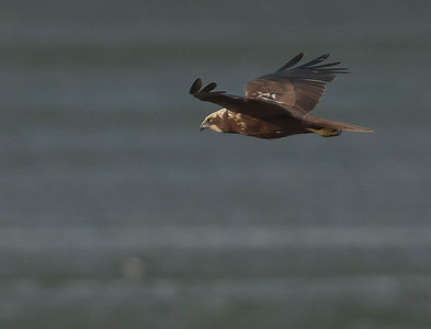 Marsh Harrier - Bruine Kiekendief