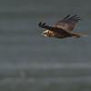 Marsh Harrier - Bruine Kiekendief