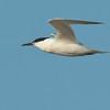 Sandwich Tern - Grote Stern