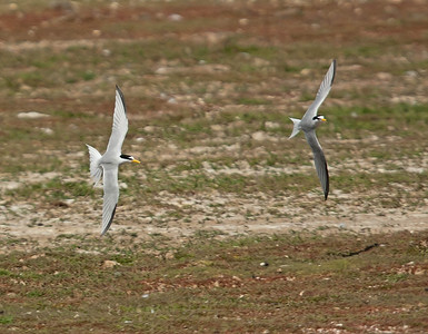 Little Tern - Dwergstern