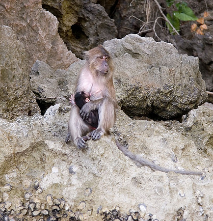 Baby macaque feeding time<br /> <br /> <br /> Shot taken from olur boat with a 17-85mm lens.