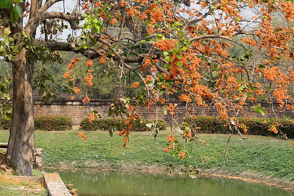 Flame of the Forest tree, Sukhothai