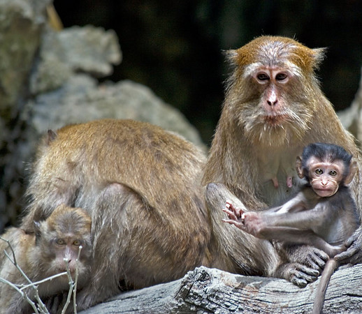 Long-tailed Macaques in hong, where they live undisturbed<br /> <br /> Shot was taken with 70-300mm lens @ 300mm.