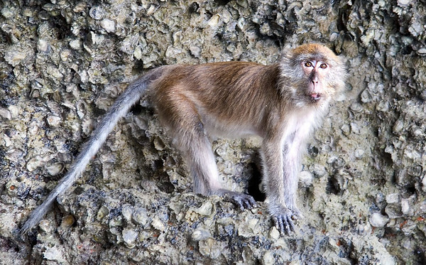 The male macaque is always close by the female and her baby.