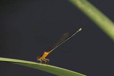 2007_Thailand, Bangkok, Ischnura senegalensis