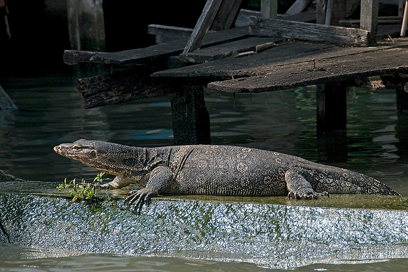 We encountered these guys, monitor lizards, both in the city waterways and in the jungle.