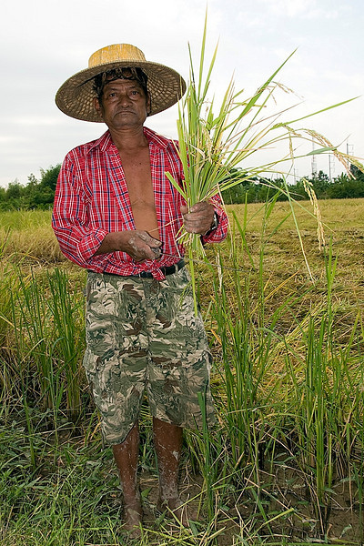 This worker agreed to pose for us with his sickle and a handful of the cut rice.