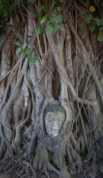A Buddha head engulfed by a tree at Wat Mahathat in Ayutthaya.
