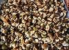 Vicia fava - Broad beans (Fava bean).