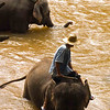 Elephants In The River, Chiang Mai, Thailand