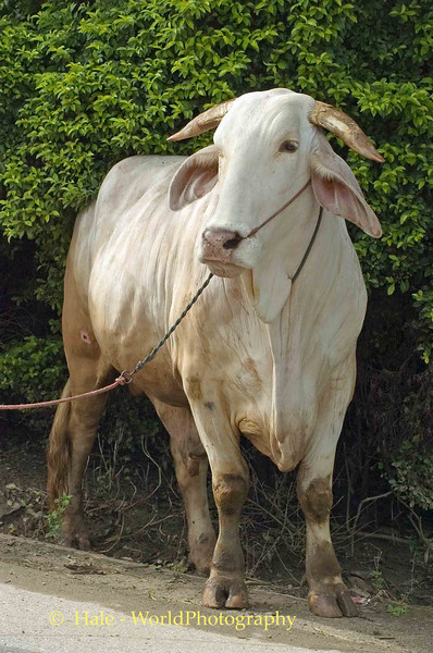 Roadside Bull, Chiang Mai, Thailand