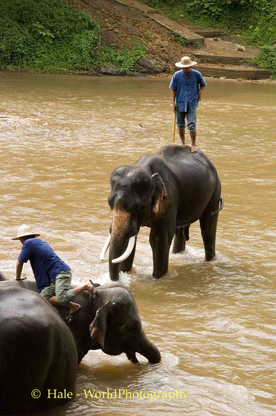 Elephants Playing In The River, Chiang Mai, Thailand