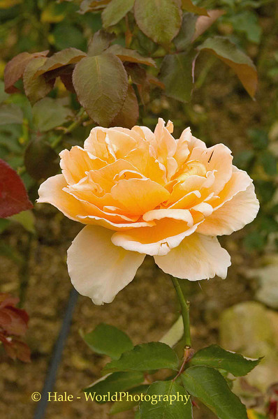 One of the Queen's Roses at Bhubring Palace, Chiang Mai, Thailand
