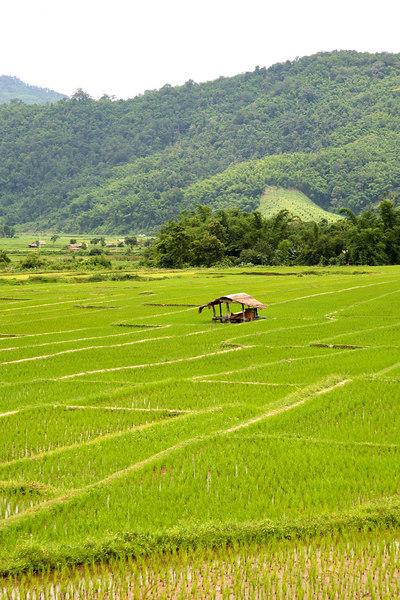 Rice paddies (Chiang Rai Province)