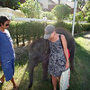 Our elephant encounter with Joey, 2 yr old, on our walk to the beach