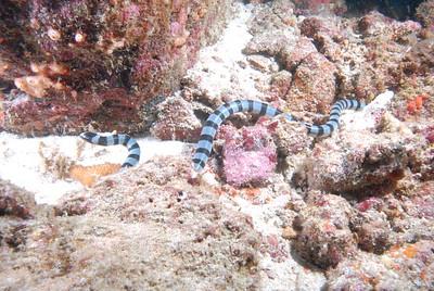 © Joseph Dougherty. All rights reserved.   Laticauda colubrina  (Schneider, 1799) Banded Sea Krait aka Banded Sea Snake  Sea snake hunting on the reef at Koh Bon.  Similan Islands National Park, Andaman Sea; Thailand.