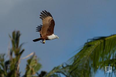 Brahminy Kite, Koh Lipe