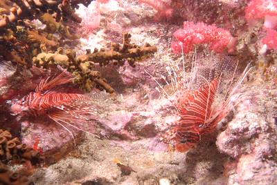 © Joseph W. Dougherty. All rights reserved.   Pterois antennata  Antennata Lionfish  Richelieu Rock, Similan Islands National Park, Thailand;   Andaman Sea.
