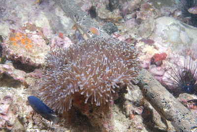 © Joseph Dougherty. All rights reserved.   Heteractis magnifica (Quoy & Gaimard, 1833) Magnificent Anemone, Ritteri Anemone  A species of sea anemone that lives in the Indo-Pacific area, and can grow up to 1 meter (3 feet) in diameter in the wild.  It is often found in association with anemonefish, or clownfish, such as the cinnamon anemonefish (Amphiprion melanopus), Clark's anemonefish (A. clarkii), common clownfish (A. ocellaris), blackfinned anemonefish (A. nigripes), true clownfish (A. percula), and the pink skunk clownfish (A. perideraion). Juvenile Threespot dascyllus (Dascyllus trimaculatus) also commonly associate with this sea anemone.  Depth: 60 feet.    Richelieu Rock, Similan Islands National Park, Thailand;   Andaman Sea.