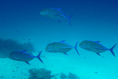 © Joseph Dougherty. All rights reserved.  Caranx melampygus Cuvier, 1833  Bluefin Trevally aka bluefin jack, bluefin kingfish, bluefinned crevalle, blue ulua, omilu and spotted trevally  The bluefin trevally is a strong predatory fish, with a diet dominated by fish and supplemented by cephalopods and crustaceans as an adult. Juveniles consume a higher amount of small crustaceans, but transfer to a more fish based diet as they grow. The species displays a wide array of hunting techniques ranging from aggressive midwater attacks, reef ambushes and foraging interactions with other larger species, snapping up any prey items missed by the larger animal. The bluefin trevally reproduces at different periods throughout its range, and reaches sexual maturity at 30–40 cm in length and around 2 years of age. It is a multiple spawner, capable of reproducing up to 8 times per year, releasing up to 6 million eggs per year in captivity. Growth is well studied, with the fish reaching 194 mm in its first year, 340 mm in the second and 456 mm in the third year. The bluefin trevally is a popular target for both commercial and recreational fishermen. Commercial fisheries record up to 50 tonnes of the species taken per year in the west Indian Ocean, and around 700 lbs per year in Hawaii. The rapid decimation of the Hawaiian population due to overfishing has led to increased research in the aquaculture potential of the species, with spawning achieved in captivity. Despite its popularity as a table fish, many cases of ciguatera poisoning have been reported from the species.    Similan Islands, Andaman Sea, west coast of Thailand
