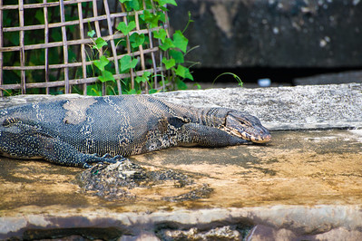 The monitor lizards just hang around - usually don't bother anyone.