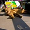 Cat in Chiang Mai 2