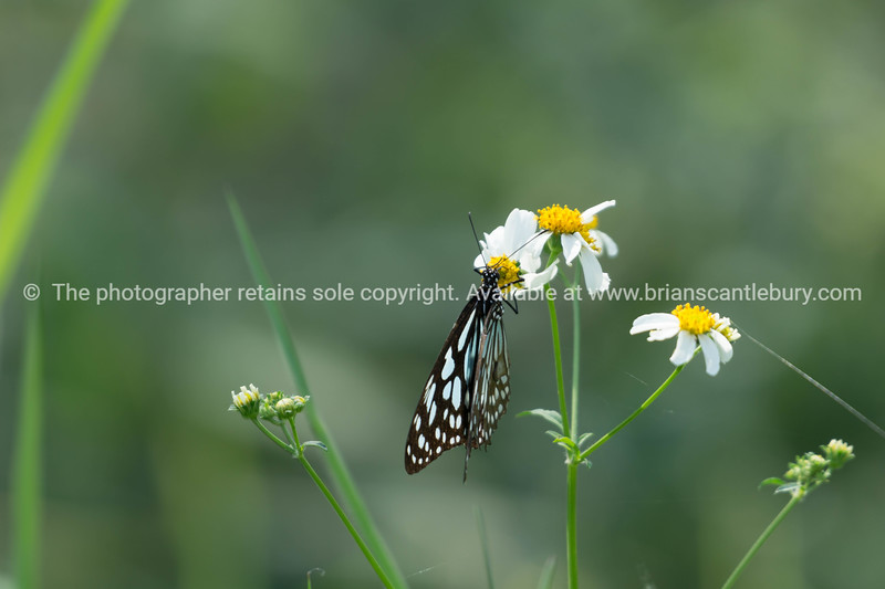 Blue glassy tiger butterfly on white flower in field.
